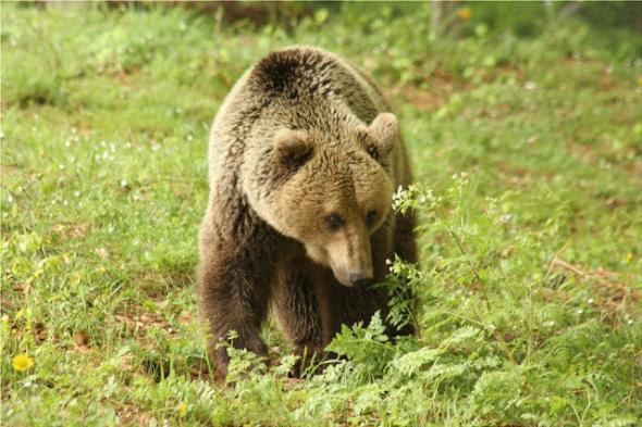 Αρκούδα επιτέθηκε σε κυνηγό στην Ξάνθη