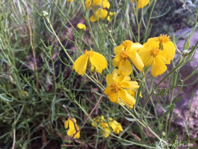 Flowers of Grand Canyon National Park, Bright Angel Trail, Ribbon Falls