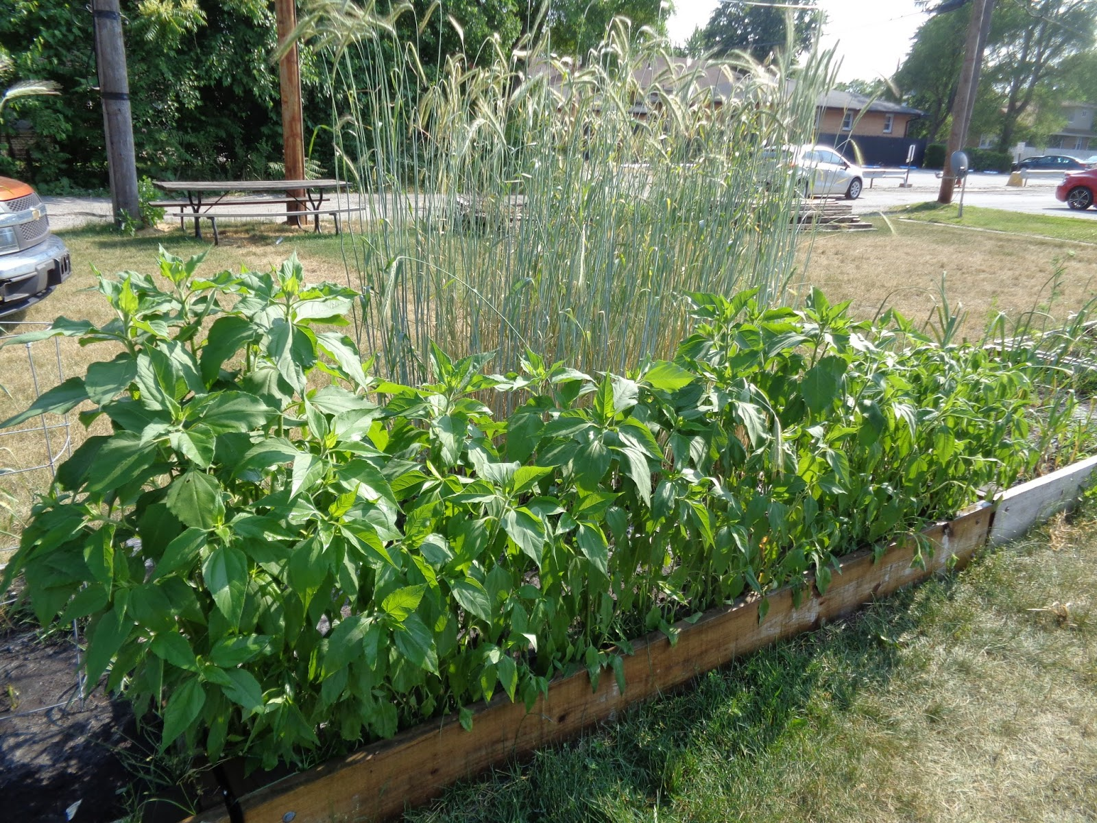 the perennial agriculturalist peppers spears and rye
