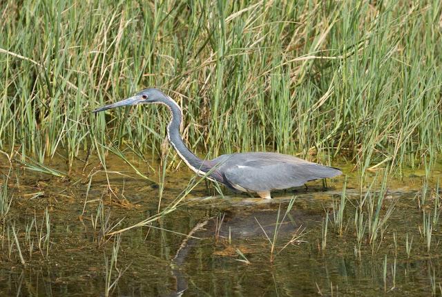 Tricoloured Heron - Viera Wetlands, Florida