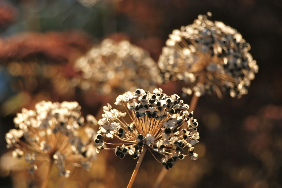 Papery Allium tuberosum seed heads glowing in the morning light