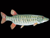 Redfin Pickerel Fish Pictures