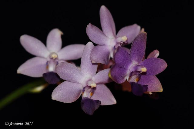 Phalaenopsis Kenneth Schubert