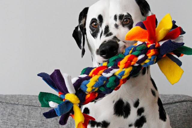 Dalmatian dog with a giant multi-coloured homemade fleece dog tug toy