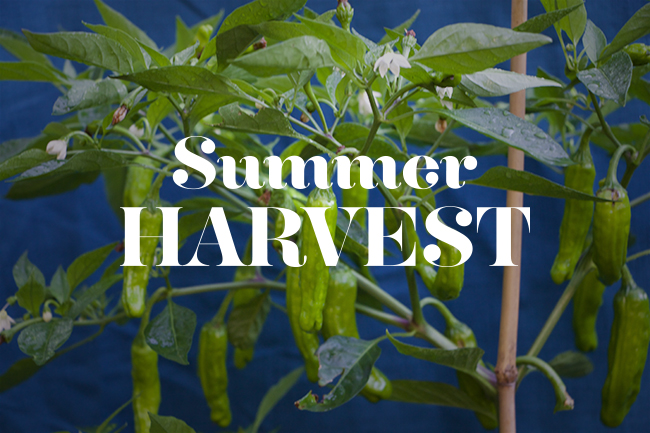Summer Shishito Peppers, Heirloom Cucumbers and Here Come those Dahlias