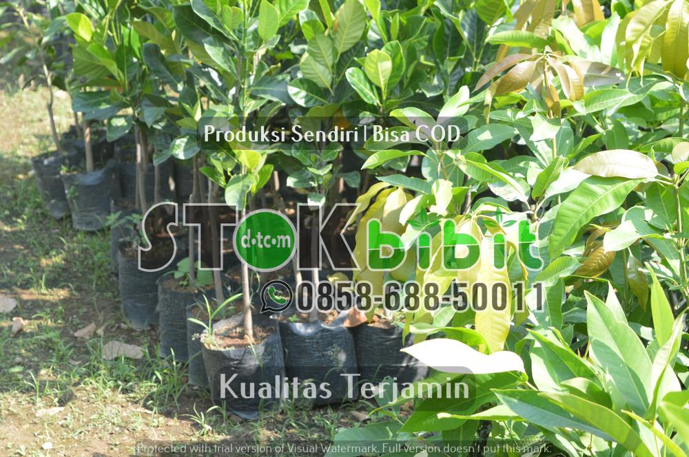 Pohon Mahoni Sebagai Perindang Jalan      Lengkap     Grosir