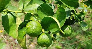 manfaat-jeruk-purut-bagi-kesehatan,www.healthnote25.com