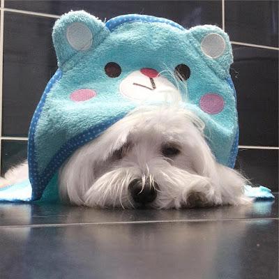 perro maltes echado en el suelo