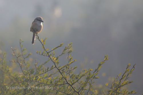 Long tailed Shrike at Keoladeo Ghana National Park Rajasthan India