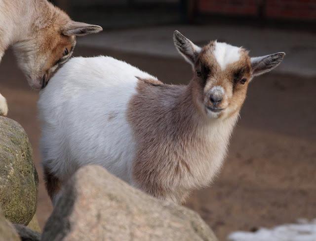 Frühling im Tierpark Gettorf (+ Verlosung). Unsere Kinder gucken gerne Tierbabys an, so wie diese süße Zwerg-Ziege.