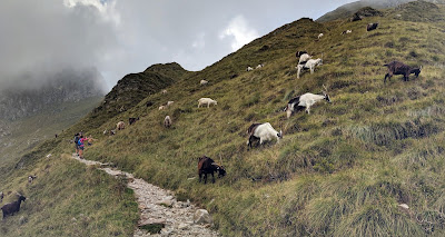 Hiking with goats along trail 108 to Rifugio Benigni.