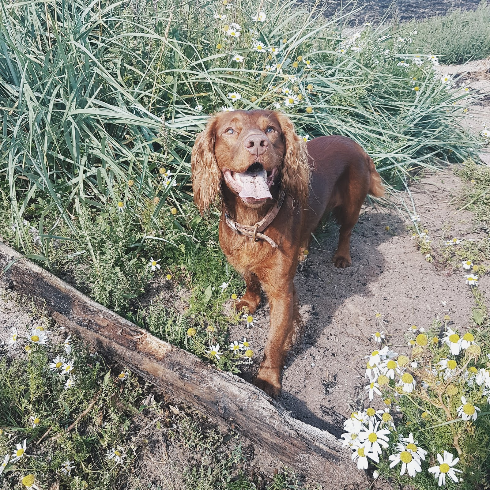 Cocker Spaniel on the Beach