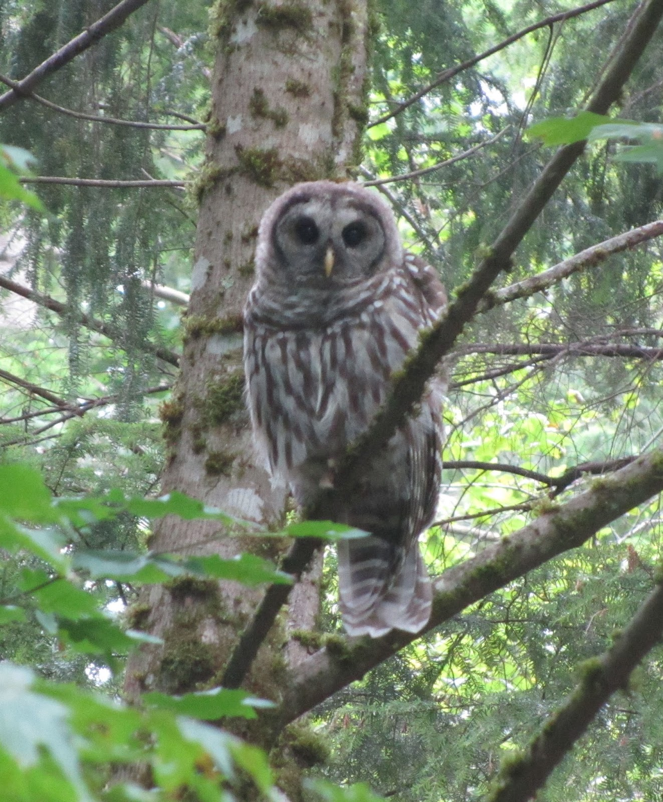 Barred Owl Sounds