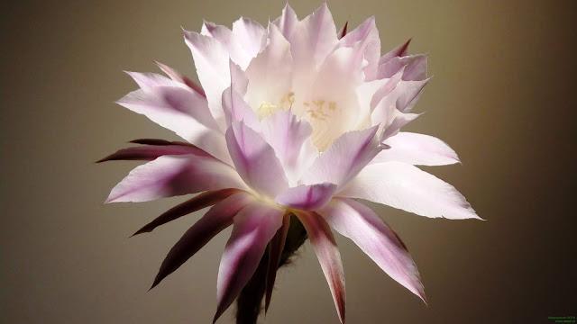 Kwitnący kaktus Echinopsis - łatwy do uprawy i często występujący w naszych domach
