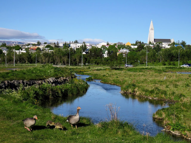 Geese on a walk in Vatnsmýri in Reykjavik Iceland with views of Hallgrímskirkja in the distance.