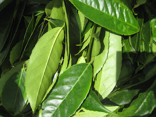 Guayusa Leaves