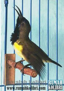 kolibri sogon gacor