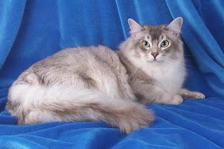 gambar kucing Tiffanie