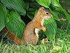 Écureuil roux nord-américain