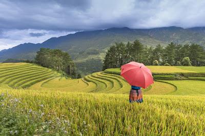 The rice terrace