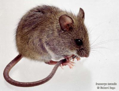 Rata selvática austral Irenomys tarsalis