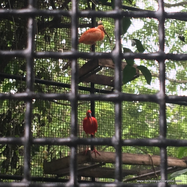 scarlet Ibis at Emperor Valley Zoo in Trinidad