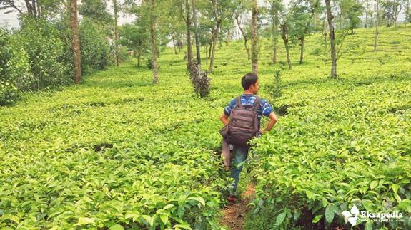 Kebun Teh Tambi Temanggung - Wonosobo