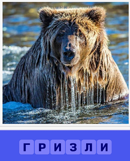 медведь гризли вылез из воды весь мокрый и стекает вода