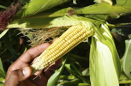 Agricultores familiares têm até dia 31 de março para aderir Garantia Safra