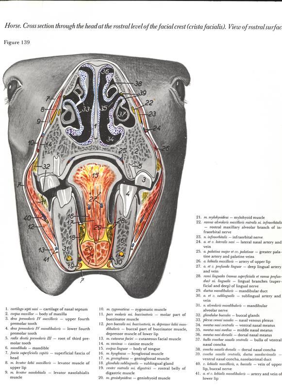 horse-cavalo-skull-anatomy-anatomia-cranio-maxilar-sinusal-sinuses-vetarq-muscle-musculatura-bone-osso-veias-arterias-dentição-equinos-eye-olho-glote-traqueia-esofago-palato