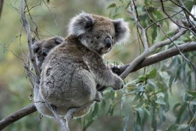 Klasifikasi Koala ( Phascolarctos cinereus)