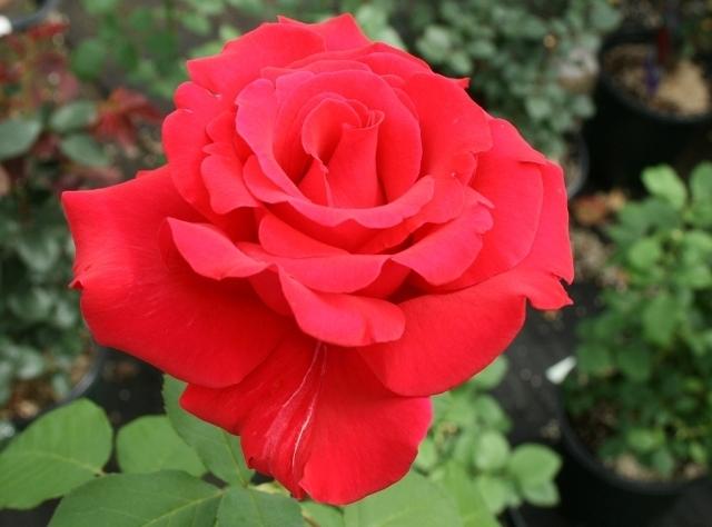 The Flower Bin Fall Rose Care Tips
