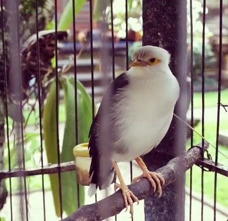 Burung jalak putih merupakan jenis burung kicauan yang memiliki kualitas bunyi yang anggun Daftar Harga Burung Jalak Putih Terbaru 2018
