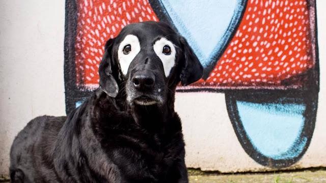 Perro amado 'White Eyed Rowdy' que ayudó a los niños con vitiligo fallece.