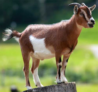 how to care for goats, goat caring, caring goats, how to take care of goats, begginers guide for goat caring