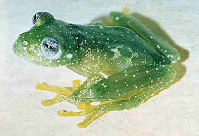 argentinian endangered frogs