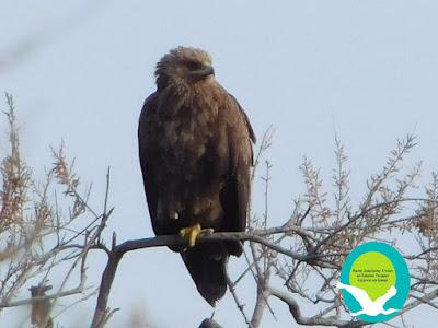 Σπάνιο Στικταετός (Aquila clanga) στο Δέλτα Καλαμά (+ΦΩΤΟ)