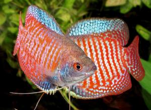 Dunia Ikan Hias - Gourami