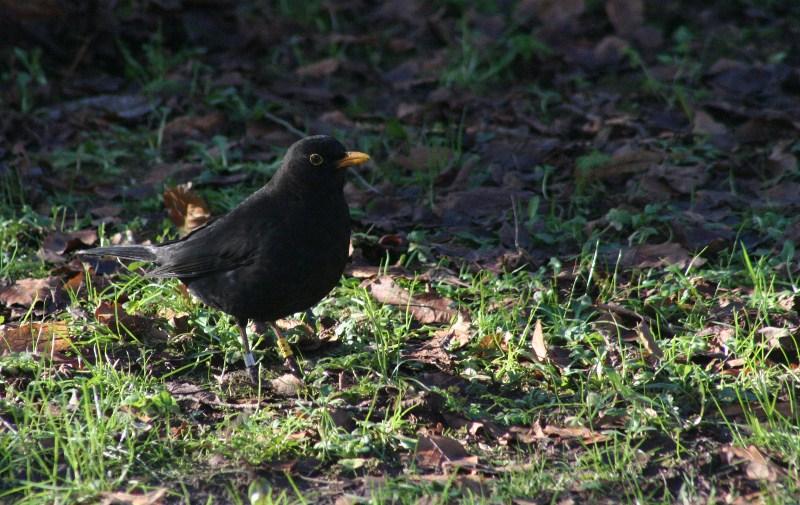 A Cardiff Blackbird