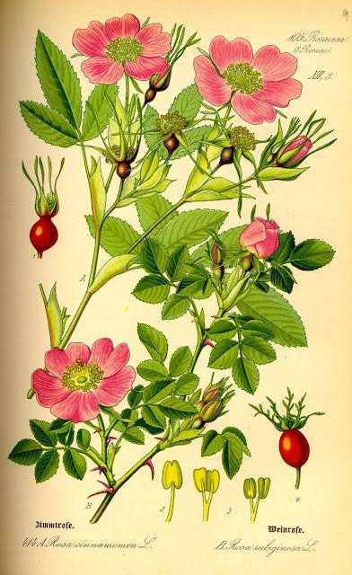 классификация роз группы виды типы плетистые шрабы