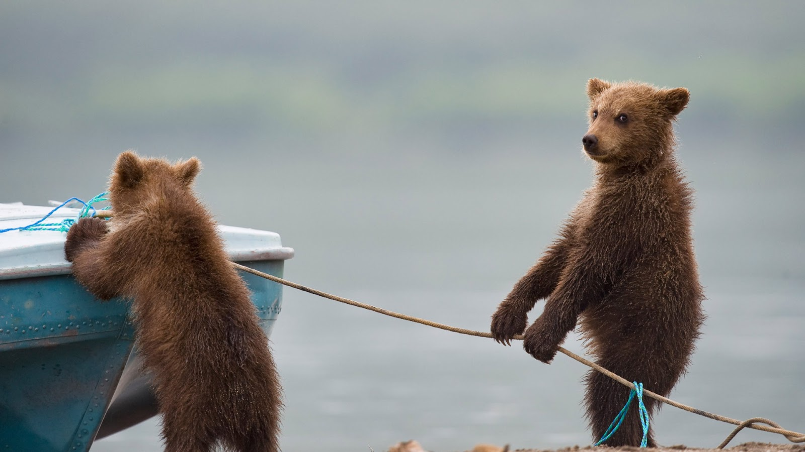 Bear cubs playing by a lake © Sergey Ivanov/Getty