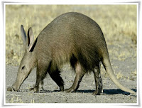 Aardvark Animal Pictures