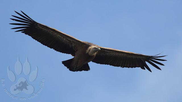 Espagne-Monfrague-saut-gitan-vautour-fauve
