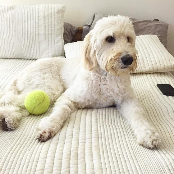goldendoodle licking pillow