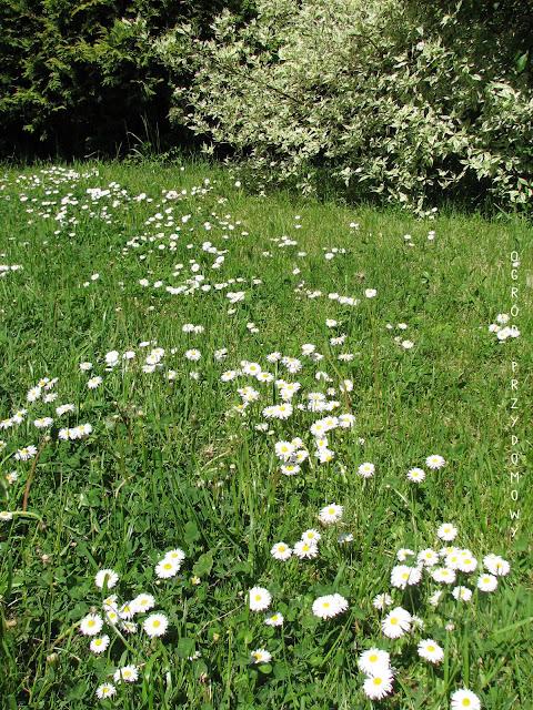 stokrotki na trawie