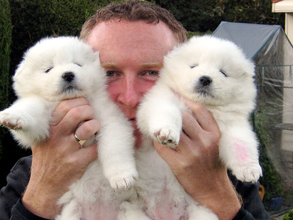 puppies samoyed cute dogs baby bears crazy polar those dog funny adorable almost too re they faces face bear
