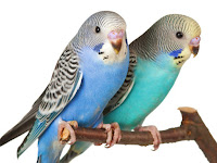 Budgerigar Birds Animal Pictures