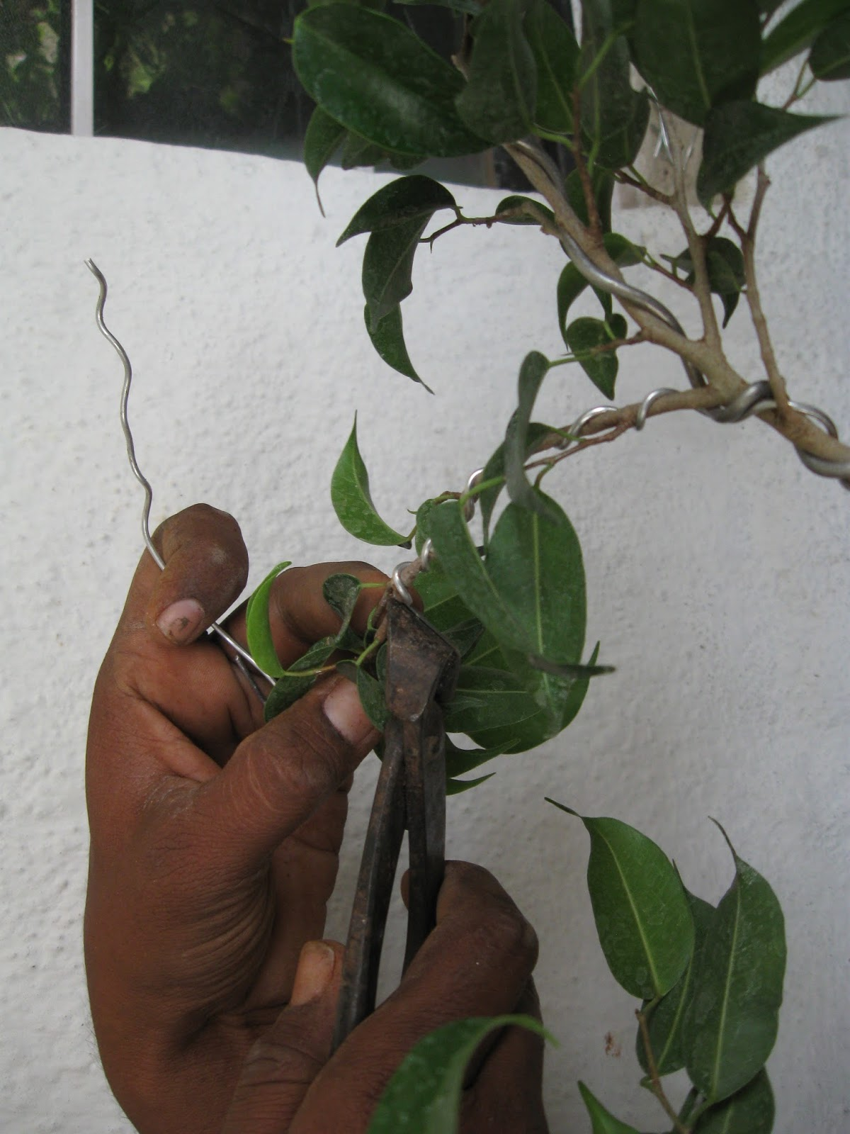 Kapilaascreations Bonsai Plant Making Wiring Branches Before Re Potting Start The And Give A Style By Removing Unwanted