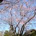 [日本/東京] 靈園都有櫻花睇?日本人也邊掃墓邊賞櫻