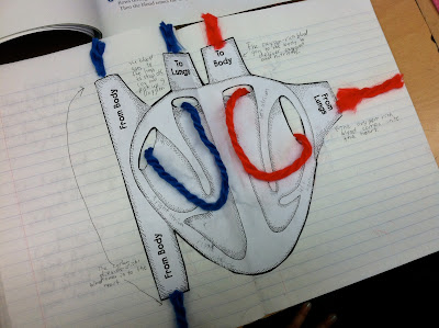 Using a heart model in fifth grade from teaching in room 6